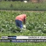 Ocho mil hectáreas de cultivos se perderían debido a fenómeno de El Niño