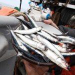 Ministerio de la Producción: Pesca de anchoveta superó 50% de cuota fijada para primera temporada