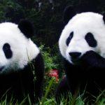El panda gigante deja de ser una especie en peligro de extinción