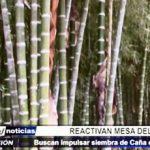 Lambayeque: Busca impulsar siembra del Bambú o Caña de Guayaquil