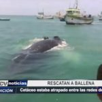 Piura: Rescatan a ballena atrapada entre redes de pesca