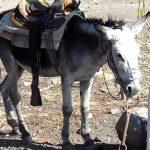 Mundo Loco: Burro es secuestrado y piden recompensa por su liberación