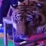 Tigre sufre maltrato en circo