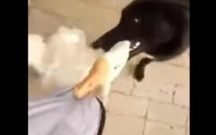 Perro se enfrenta a ganso para salvar a su dueño