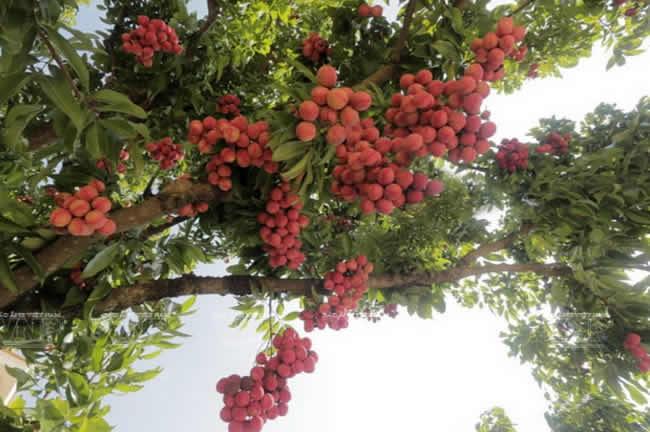 fruto-el-lichi