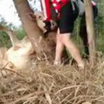 Ternero salva de morir atrapado en un tronco