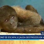 El Porvenir: Mono se escapa y causa destrozos en vivienda