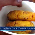 Mashua: El tubérculo que combate el cáncer