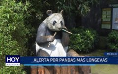 México: Alerta por pandas longevas