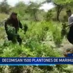 Piura: Decomisan 1500 plantones de marihuana