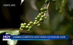 Cambio climático afectaría cultivo de café