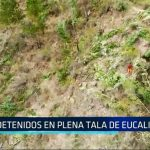 Sánchez Carrión: Detenidos en plena tala de eucaliptos