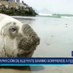 Chimbote: Aparición de elefante marino sorprende a pescadores