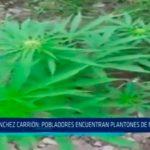 Sánchez Carrión: Pobladores encuentran plantones de marihuana