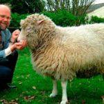 Anuncian la clonación de la oveja Dolly