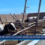Chiclayo: Delincuentes llevan ganado valorizado en 14 mil soles