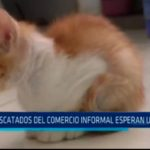 Gatos rescatados del comercio informal esperan un hogar