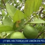Piura:17 mil hectáreas de limón en peligro