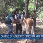 Chiclayo : Ganado en Mórrope se encontraría afectado