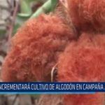 Chiclayo: Incrementará cultivo de algodón en campaña agrícola