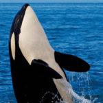 #Viral: Mira cómo reaccionan estas tiernas orcas ante esta broma viral