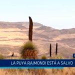 La Libertad: La puya Raimondi está a salvo