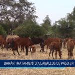 Chiclayo: Darán tratamiento a caballos de paso en Tumán