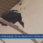 Chiclayo: El problema de los gallinazos en el centro de Chiclayo