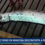 Piura: Pez remo en Máncora desconcierta a pescadores