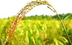 China: Cultivan arroz regando con agua de mar y alimentan a 200 millones de personas