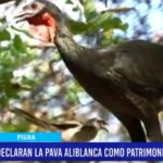 """Piura: Declaran a la """"Pava Aliblanca"""" como patrimonio de la región"""
