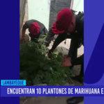 Chiclayo: Encuentras 10 plantones de marihuana en vivienda